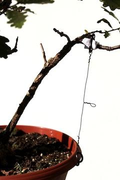 Tensor aplicado a una rama de un bonsái