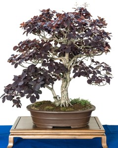 http://www.dreamstime.com/royalty-free-stock-images-smoke-tree-as-bonsai-cotinus-coggygria-pot-image43641809