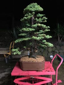 Tosho Needle Juniper after repotting September 2016