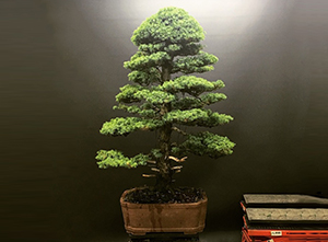 Large Tosho Bonsai