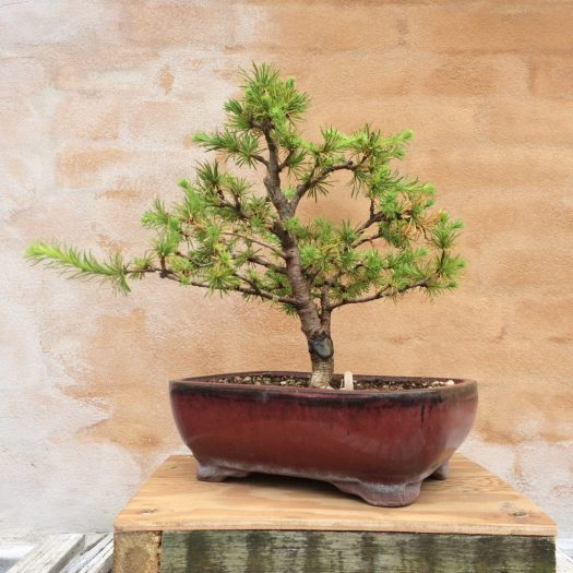 Awesome Japanese Larch My First Conifer Tree Bonsai Noob Wiring 101 Capemaxxcnl
