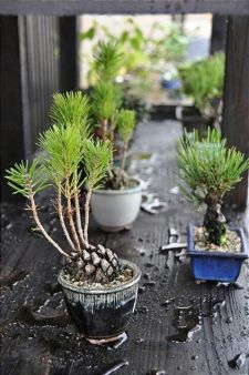 Growing A Bonsai From A Seed