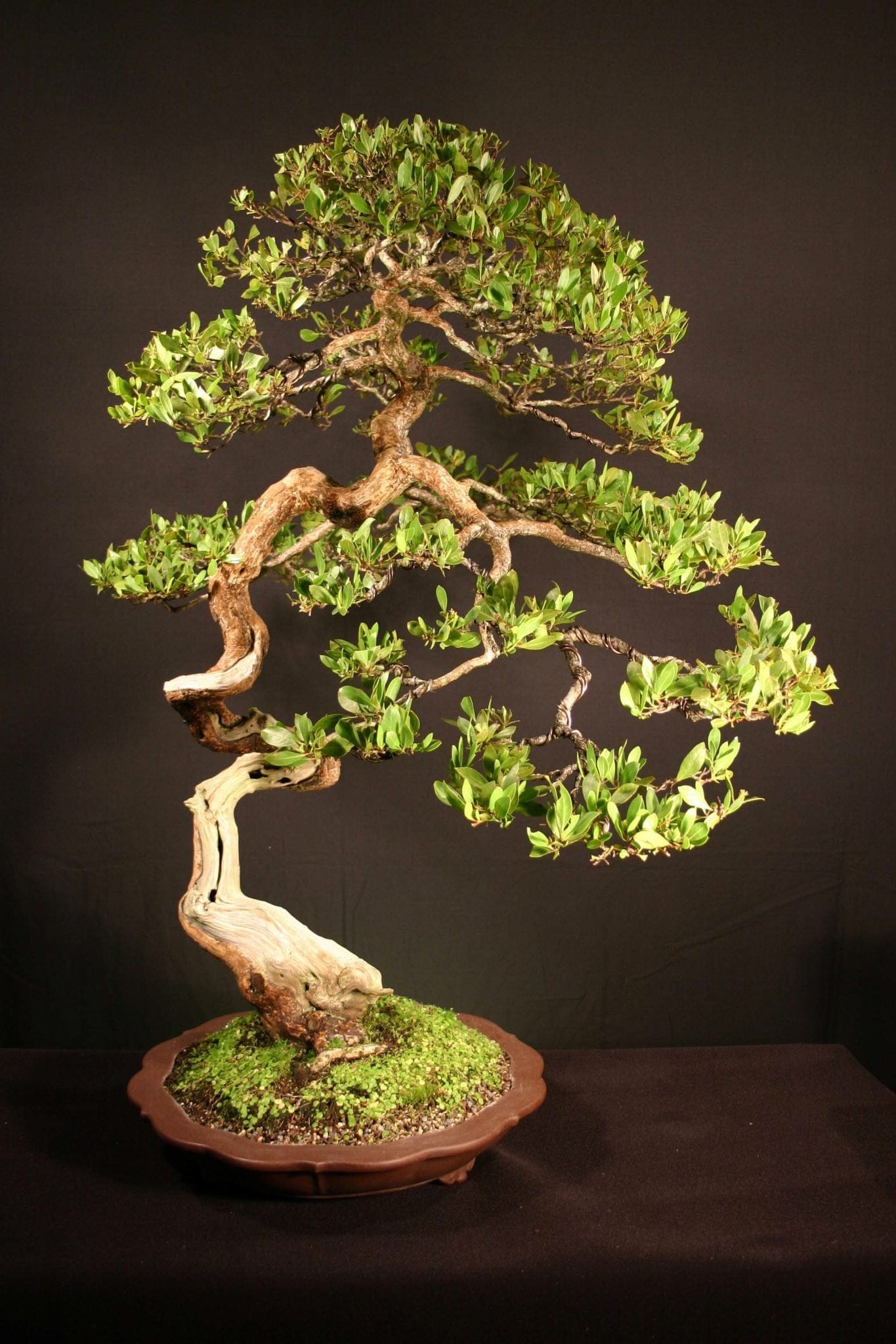 Buttonwood Bonsai Trees Bonsai Tree Gardener