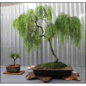 Beauteous Fukien Tea Bonsai Bonsai Trees Plants Home Depot Japanese