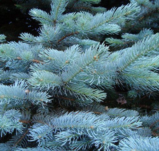 Colorado Blue Spruce Bonsai Trees Picea Pungens Bonsai