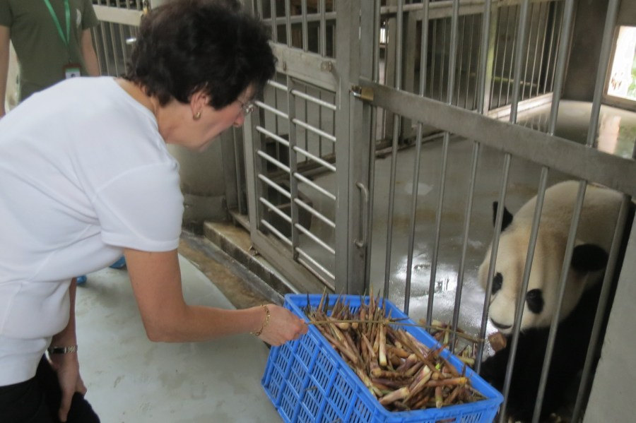 How to get really close to the Giant Panda bears!