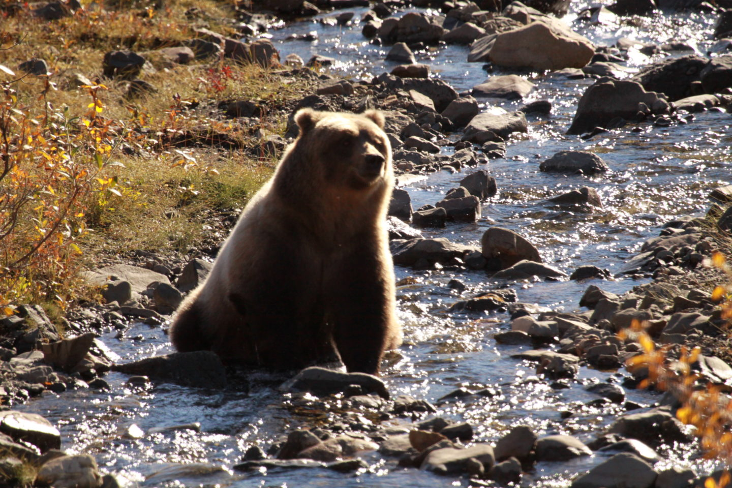 Bear in Mount Denali National Park during our Alaska Cruise with Princess Cruises