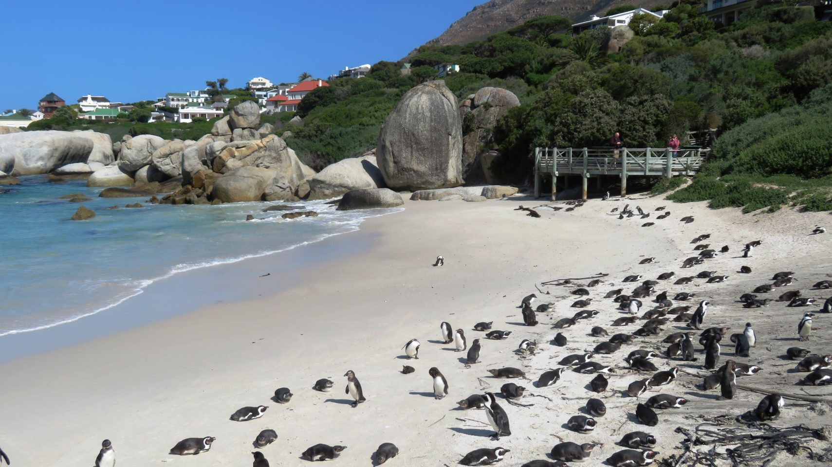 The African Penguins of Boulders Beach ~ Cape Peninsula in Cape Town, South Africa