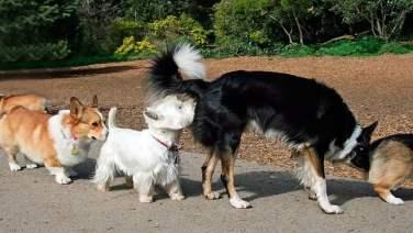 dogs smell Anal Sacs