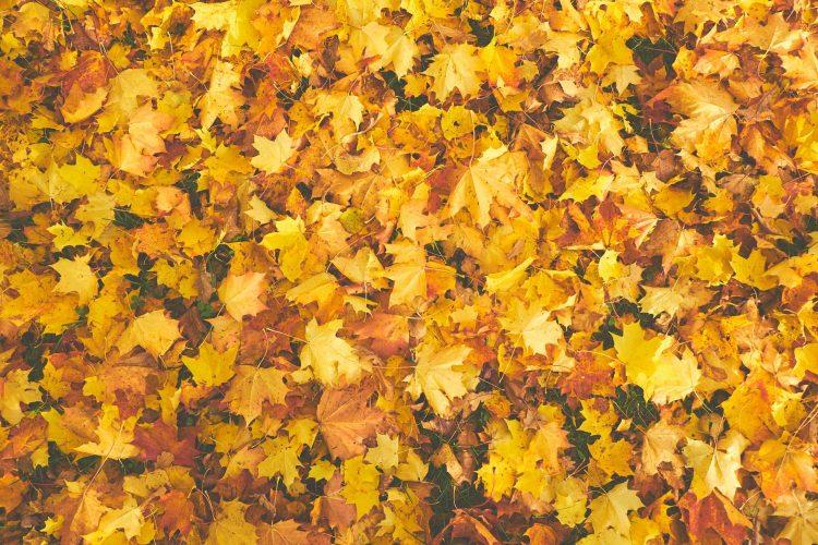 foglie poesia caproni