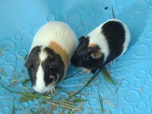 melanie guinea pigs