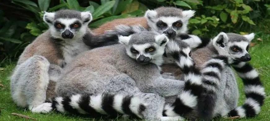 Madagascar et sa faune exceptionnelle : les lémuriens