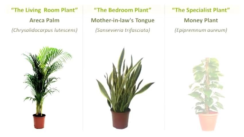 Areca Palm, Mother-in-law's Tongue, Money Plant