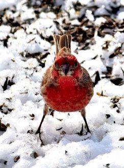 ph_redbird