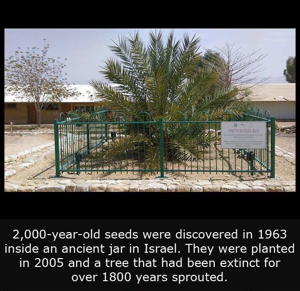 2,000 year old tree blooms again