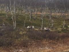 069 Reindeer