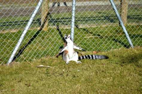 Banham Zoo - Sunbathing Lemur