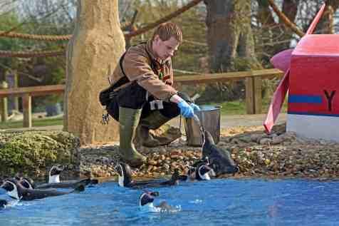 Nick, Penguin Birds Keeper feeds Penguins in Penguin Bay for Year of the Penguins
