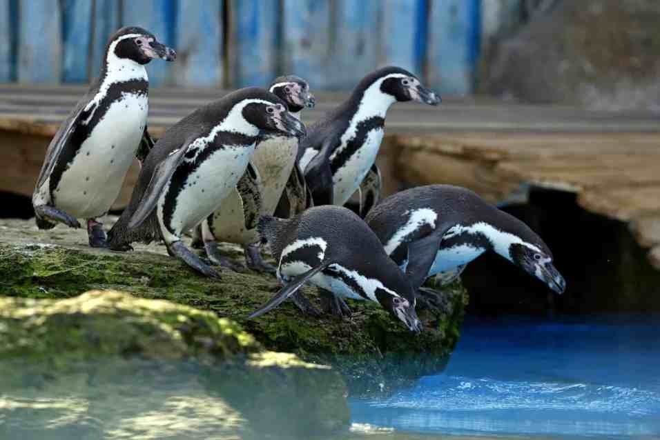 Penguins exploring their new home in Penguin Bay