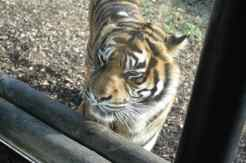 chessington-winters-tail-tiger