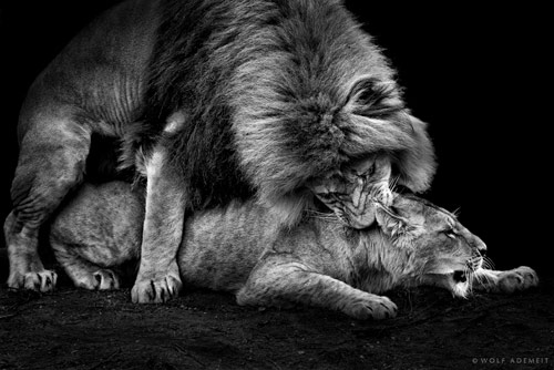 30 Fantastic Examples Of Lion Photography