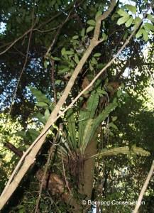 birds-nest-fern-in-tree