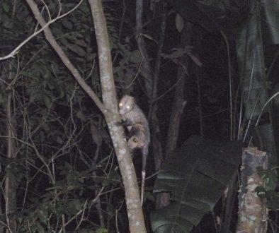 possum panama