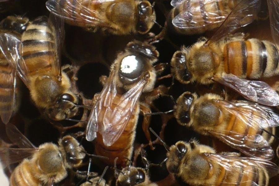 élevage de reines bio