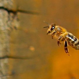 abeilles bios