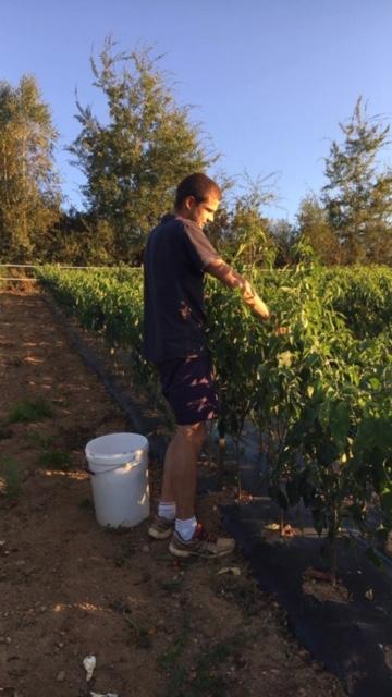 culture des piments d'Espelette