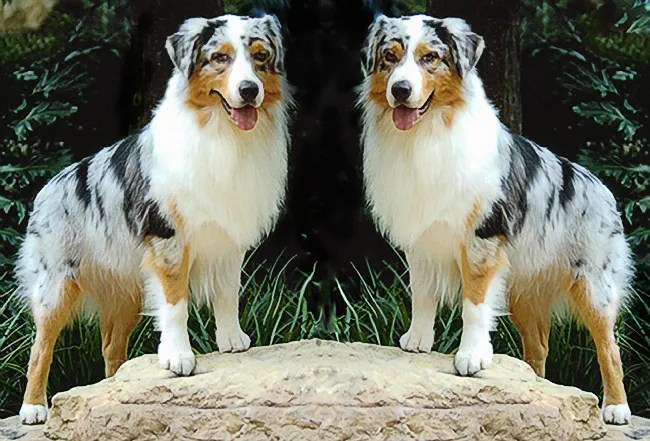 The Unfortunate Case of the Wild Australian Shepherd