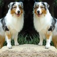 The Australian Shepherd is a breed that has been constructed to maximize two different lethal semi-dominant traits: Merle and Bobtail. Without the careful hand of breeders to prevent Merle x […]