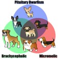 There are three common and valued genetic conditions in dogs that result in stunted growth: pituitary (ateliotic) dwarfism which results in proportional minis, micromelic achondroplasia which results in shortened limbs, […]