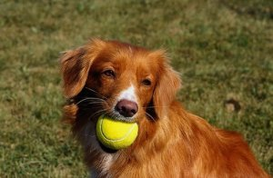 This Toller probably isn't the product of a father x daughter mating, but the gene pool is so small, it has the same level of inbreeding.