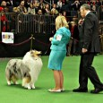 Update: Qualzucht Wins Big at Westminster The son of blind and deaf double merle stud, Wyndlair Avalanche, has won Best of Breedat the 2012 Westminster Kennel Club dog show. You […]