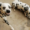There's a lot of blame to go around concerning why Dalmatians are a train wreck of a breed and the favorite targets of such scorn are Disney and Backyard Breeders. […]