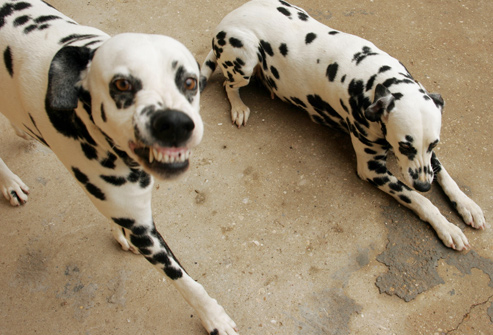 snarly_dalmatians