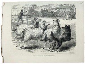 1876 Sheep Dog Trials at Alexandra Palace.