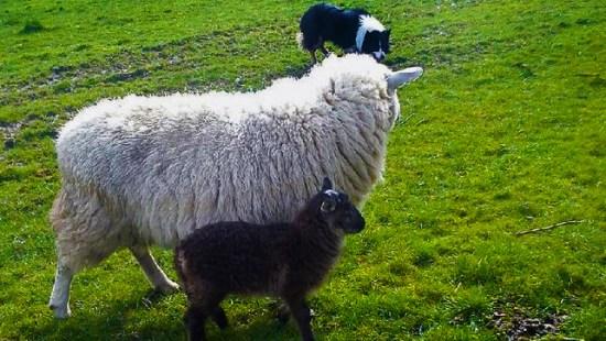 A rare Goat x Sheep hybrid, a Geep.