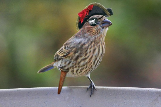 Rescued_House_Finch_Pirate_Queen