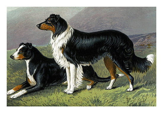 Sheepdogs by Vero Shaw