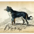 "From Anecdotes of Dogs by Edward Jesse, Esq., 1858 The Colley Or Shepherd's Dog: a wonderful sheep-dog   ""It is a curious fact in the history of these animals, that the most useless […]"