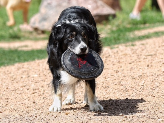 The only thing Dublin mauls are Frisbees. Photo by Amy Irvin.