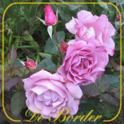 Grootbloemige rozen