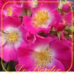 rambler-/vroegbloeiende rozen
