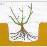 plant de roos met de entplek ca 2 vingers onder de grond
