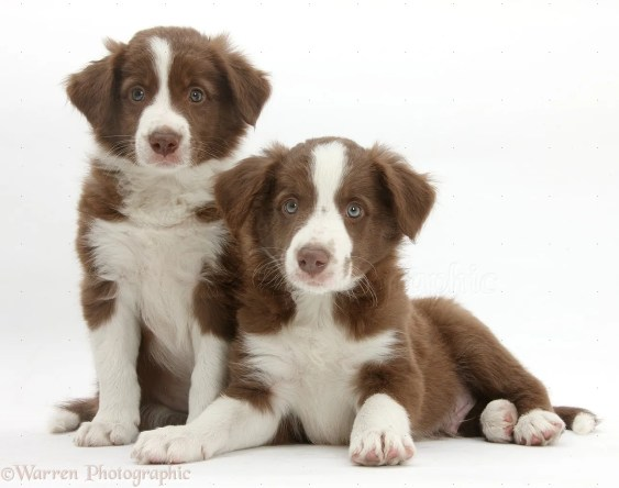 Cute chocolate Border Collie puppies, 7 weeks old