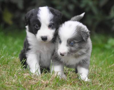 border_collie_welpen_in_blue_merle