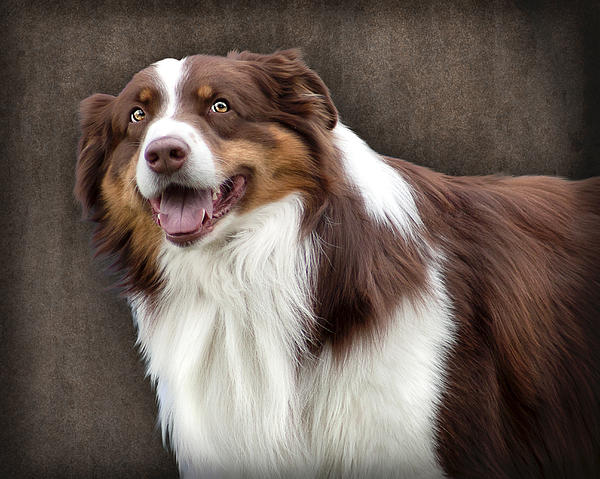 brown-and-white-border-collie-dog-ethiriel-photography