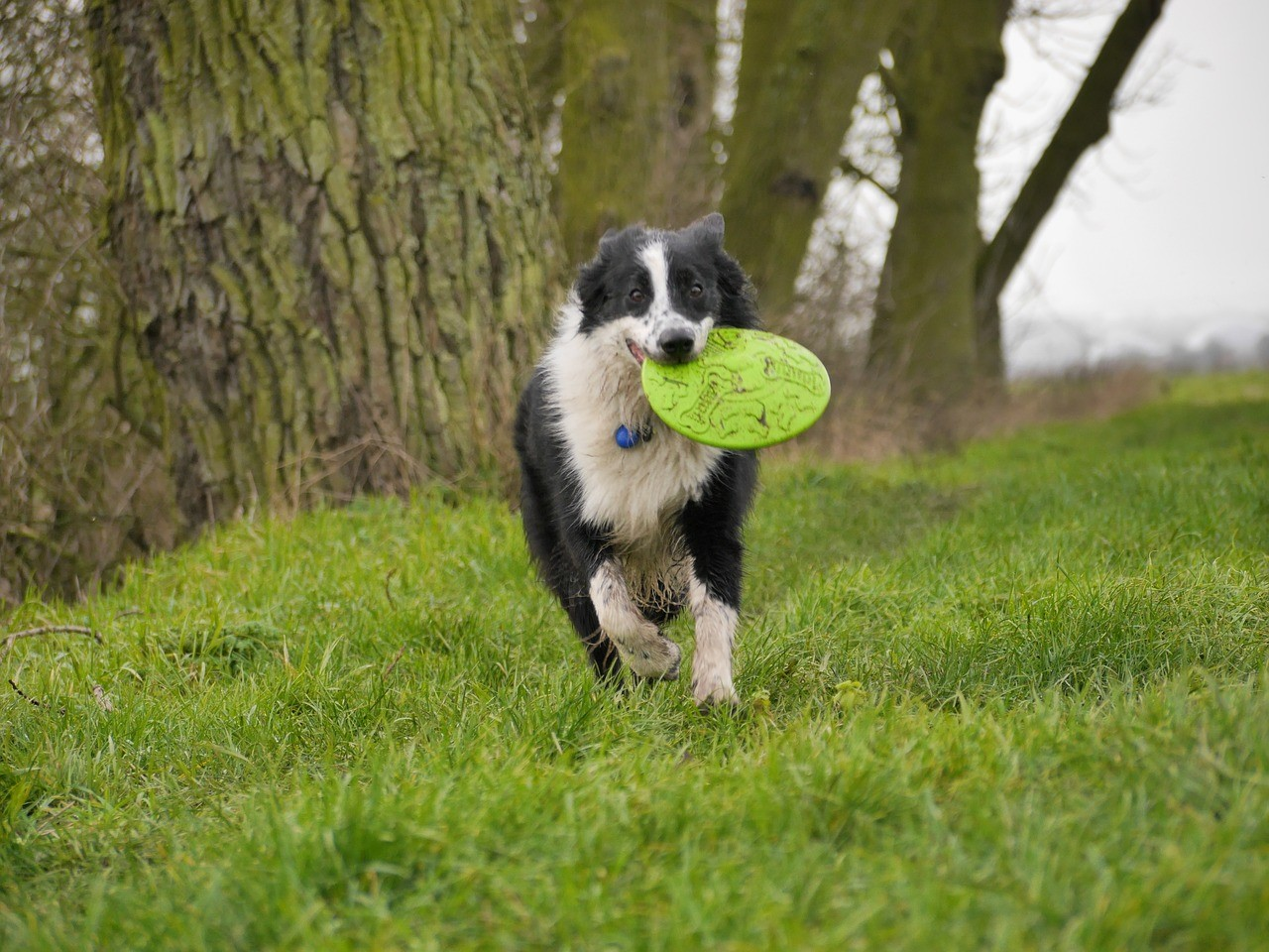Originally Bred As Sheep Dogs, Border Collies Possess Remarkable Stamina  And Energy, Perfect If